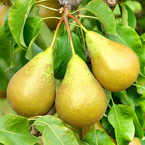 Pyrus communis 'Conference' Quince A | Pear Fruit Garden Tree | 5-6ft