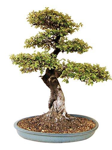 Bonsai chinesische Ulme, alter Ulmen-Solitär, ca. 30 Jahre alt, ca. 60 cm hoch
