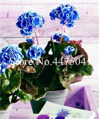 Bloom Green Co. 50 PC/Los Seltene lila Geranie, Pelargonium Peltatum Geranium Bonsai Perennial Seltene Blumen-Pflanzen für Innenräume Bonsai: 15