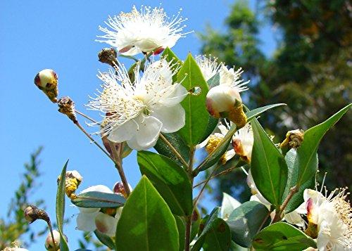 SAFLAX - Mirto - 30 semillas - Con sustrato estéril para cultivo - Myrtus communis