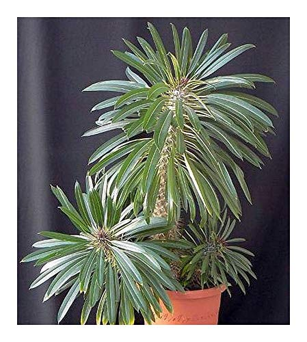 Pachypodium lamerei - palmier de Madagascar - 50 graines