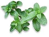 250 graines Aromatiques - MENTHE Verte - Mentha Viridis