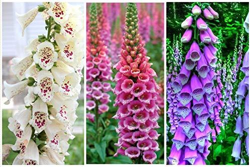 NIKA SEEDS - Flowers Purple Foxglove Digitalis Mix Perennial - 600 Seeds