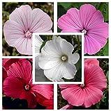 Rose Mallow Lavatera Trimestris Mix 250 seeds