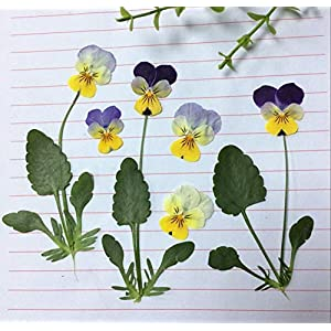 Silk Flower Arrangements Artificial and Dried Flower 120pcs Dried Pressed Pansy Corydalis Suaveolens Hance Flower + Leaves Plants Herbarium for Jewelry Postcard Making