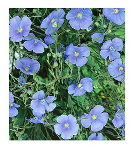 Linseed Seeds - Linum usitatissimum - Dans l'emballage d'origine - Fabriqué en Italie - C.ca