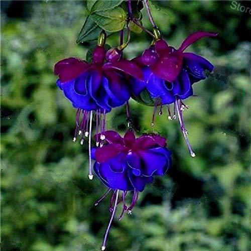 Buy 3 get 2 Free Colorful Hanging Fuchsia Blue 100 pcs Seeds Perennial Bonsai
