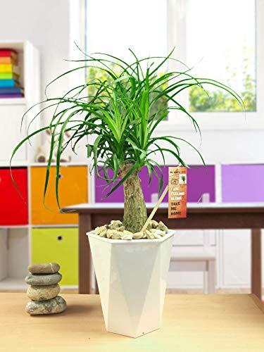 Easy Plants 1 pie de elefante, cola de caballo, planta de palmera en maceta de auto riego con rombo blanco brillante