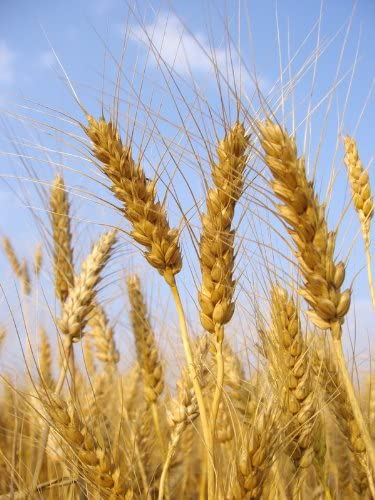 5lb Ranking TOP2 Kansas Nashville-Davidson Mall Wheat Seed Better Tha Cat Grass