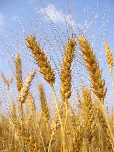 5lb Kansas Wheat, Wheat Seed, Cat Grass, Wheat Grass, Better Than Organic