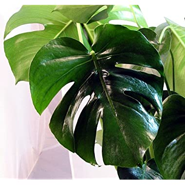 Split Leaf Philodendron 6  Pot - Monstera - Edible Fruit tastes like Pineapple