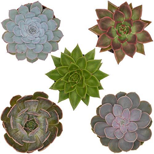 Pasiora Echeveria Mix im 12cm Topf, verschiedene große Pflanzen, Rosetten Geschenkset (5 Stück)