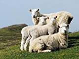 ZEDWHEN Puzzles Madera Rompecabezas Rompecabezas de 1000 Piezas Familia de ovejas en la Hierba Creativo Juego Personalizado Adultos Niños Juguetes educativos