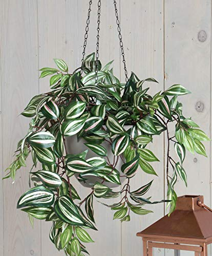 Qulista Samenhaus - Immergrün Raritäten Dreimasterblume Büro Zimmerpflanzen pflegeleicht Dekorativ Blumensamen exotisch winterhart mehrjährig in auf der Terrasse/Balkon