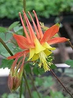 25+ Aquilegia Tequila Sunrise Columbine Flower Seeds / Perennial