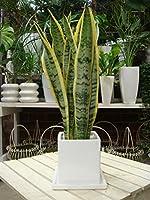 サンスベリア(虎の尾)受け皿付き・インテリア陶器鉢植え マイナスイオン効果