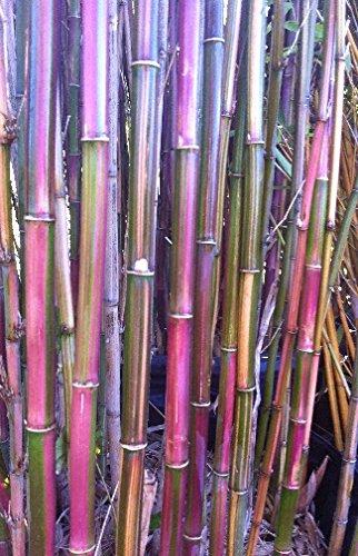 Himalayacalamus falconeri - bambou rouge - 50 graines