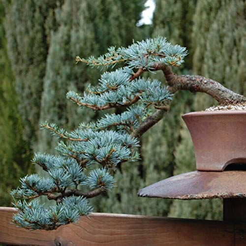 Blue Spruce Bonsai Tree Seeds for Planting | 20 Seeds | Popular Coniferous Tree for Bonsai