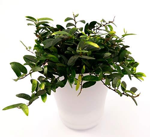 FICUS ANOUK VASO CERAMICA, echte Pflanze