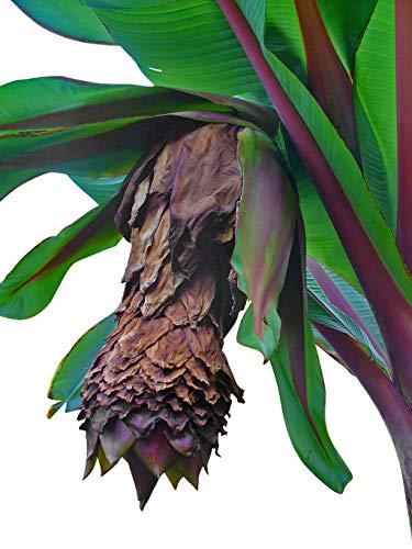 Winterharte Schneebanane -ensete glaucum- 5 Samen