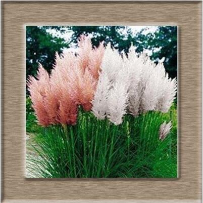 100pcs / lot Pampas Graines de gazon Patio et jardin des plantes ornementales en pot New Fleurs (Rose Jaune Violet Blanc) Cortaderia herbe 3