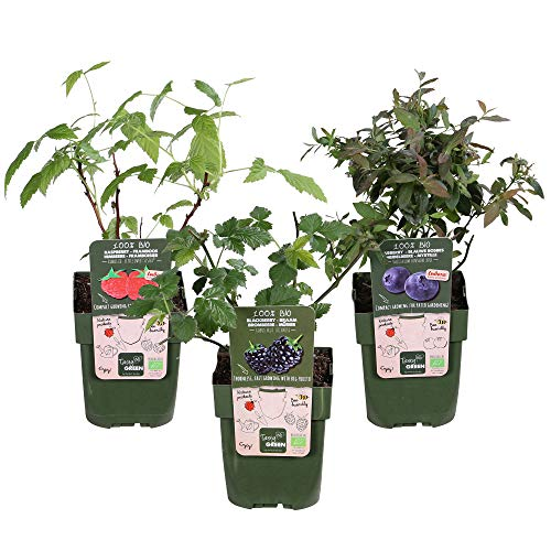 3x Beerenobst Pflanze'Dwergfruit' |...