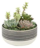Costa Farms Small Cacti and Succulent Dish Garden Live Indoor Plant Gift, 6-Inches Tall, Grower's Choice