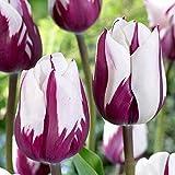 Tulpen Zwiebeln Geschenke Starke Zwiebeln HüBscher MehrjäHriger Innenhof Hausgarten Duftende Atemberaubende-5 zwiebeln