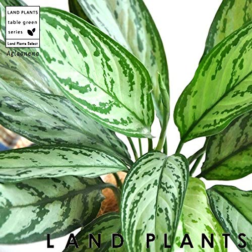 LAND PLANTS 観葉植物 アグラオネマ (シルバークイーン) 4号 プラスチック鉢