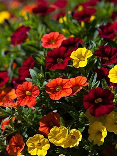 Keland Garten - Rarität Zauberglöckchen Mischung Als Ampelpflanze Kübelpflanze in Klein- und Vorgärten, Blumensamen winterhart mehrjährig auf Balkon oder Terrasse