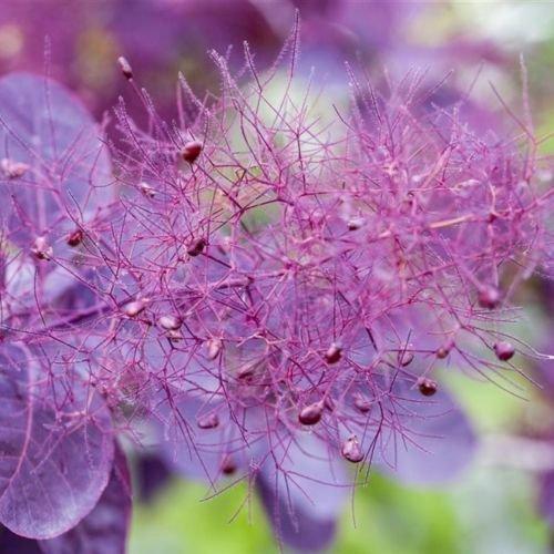Roter Perückenstrauch 'Royal Purple' - Cotinus coggygria 3 L Topf gewachsen, lila bis rotfarbender Gartenstrauch
