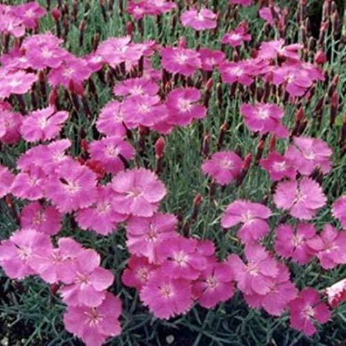Dianthus gratianop. 50 Stück Pfingstnelke Baby Lom Nelke Bodendecker winterhart