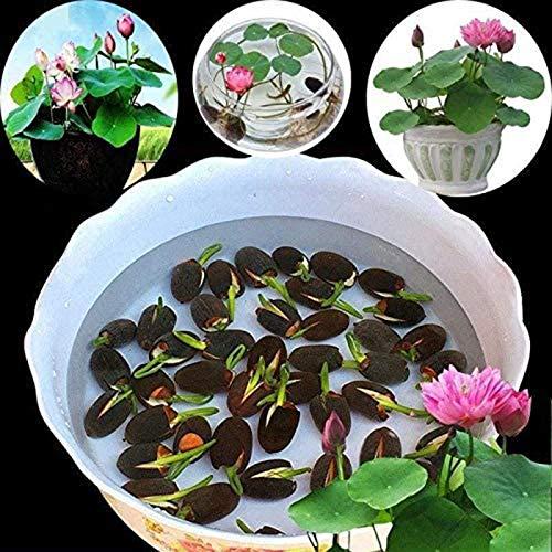 puran 1 Beutel Lotus Seeds Mini Non GVO Gemischte Bonsai Lotus Bowl Seeds, Einfach Zu Pflanzen, Pflanzensamen, Gartenarbeit, Wohnkultur Schüssel Lotus Samen