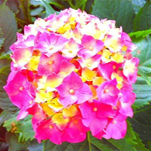 10pcs/pack Red Hydrangea mélange de graines Hydrangea Fleurs Accueil Plante des graines de fleurs Bonsai Viburnum pour le jardin de la maison 4
