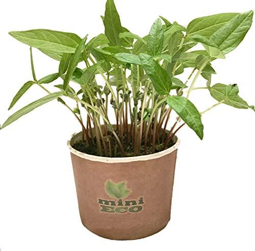 MiniEco Haricot Mungo Micro-pousses Graine à Germer Bio. Environ 15g de Graines. Kit de Culture Germes. Plantules Cultiver Planter Plante Croissante Légume Semence Germes Microgreens