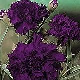 発芽種子:カーネーションの花の種 - ブラック/パープル - 美しい - バルク