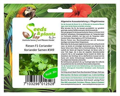 30 gigante F1 cilantro coriandro semilla especias hierbas huerto #349