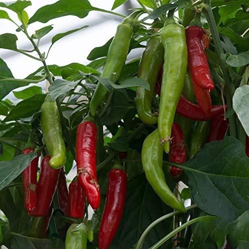 Samen für ca. 20 Pflanzen Rokita Paprika - leicht scharfer Spitzpaprika