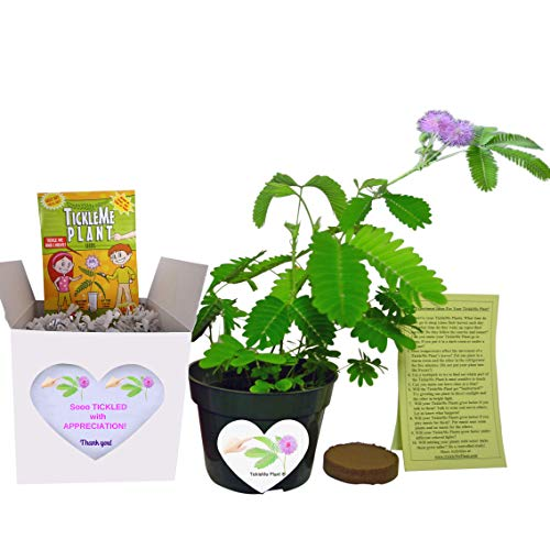 Fun Alternative to a Thank You Card. So Tickled With Appreciation TickleMe Plant Gift Box - Grow the House Plant that Closes Its leaves and lowers Its branches when you Tickle It and Everyone Smiles.