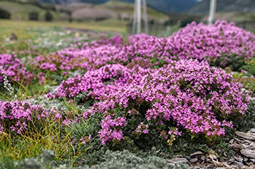 1,000 Creeping Thyme Seeds for Planting - Heirloom Non-GMO Ground Cover Seeds -...
