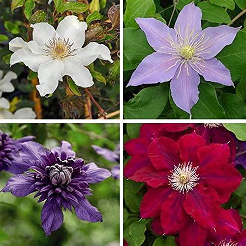 Mehrjährige seltene Arten Blumen Bonsai Wurzel wieder blühende magische Pflanzen-5Clematis Rhizome