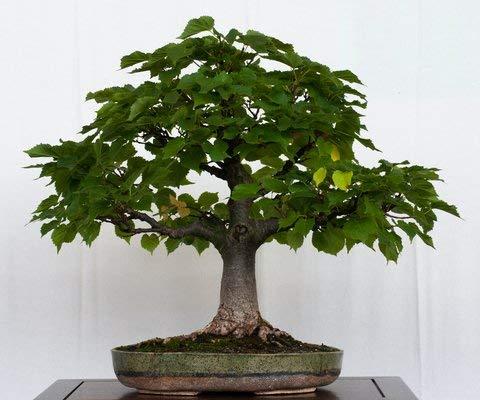 15 Samen Little-Blatt Lindenbaum (Tilia cordata)