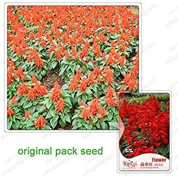 Vistaric 40 graines/paquet, haut ficelle rouge, graines de sauge écarlate, bonsaï de fleurs pour balcon, balcon de graines de plantes en pot