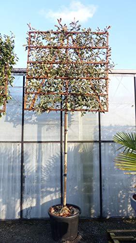 Spalier BIO Photinia Pink Marble 370 cm Red Robin Glanzmispel 120x120 cm Sichtschutz Hecke auf Stamm