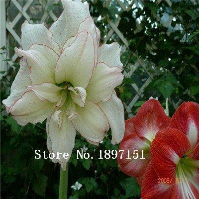 Big graines de Amaryllis des ventes, graines Amaryllis bon marché, la Barbade graines de lys en pot, Bonsai balcon fleur - 200 pcs / sac
