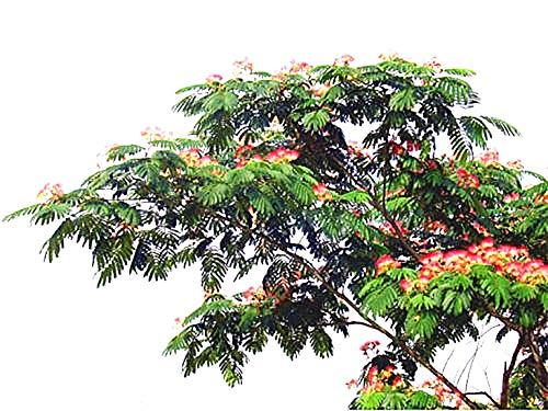 Golden autumn farm -10 Mimosa/Persian Silk Tree Albizia Julibrissin Seeds/Bonsai Persian Pink Silk Tree