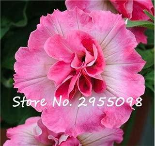 20 Seeds Petunia Kabloom Calibrachoa, mixed bonsai flower seeds, Morning Glory, Pot Plant For Home Garden 3