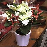 Weihnachtsstern (Euphorbia) Arctic White - 1 pflanze