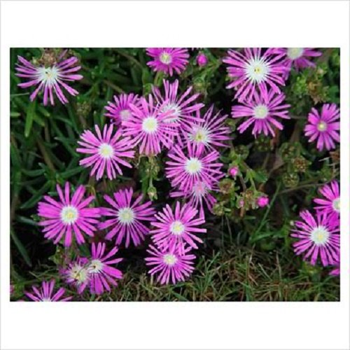 25 TABLEAU DE MONTAGNE Apténia Magenta Fuchsia Delosperma Cooperi Graines de fleurs