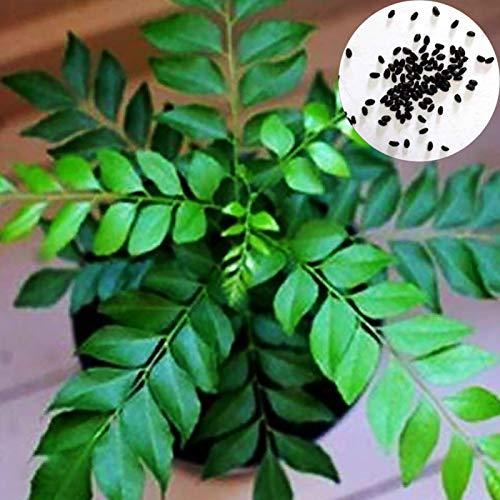 Curry-Samen, 100 Stück Curryblatt-Baum-Samen, kulinarische Kräuter-Pflanze, für den Außenbereich, Heimwerken, Heim- und Gartendekoration – Curry-Samen